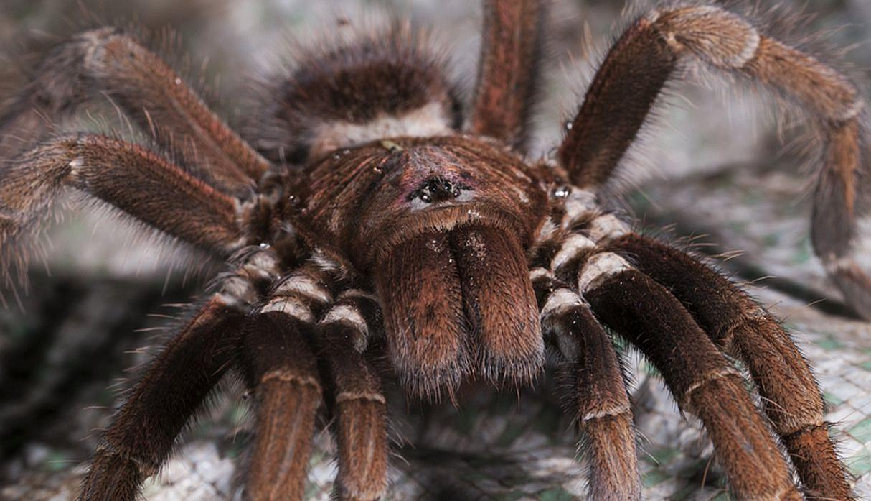 Arañas Info-Aracnidos