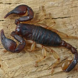 Escorpion Euscorpius flavicaudis